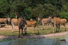 De groep antilopen loopt in het safaripark stock foto
