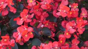 De groep begonia semperflorens installaties met rode bloemen en bronswas verlaat het groeien in een bloembed in een de lentepark stock videobeelden