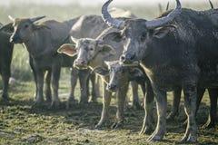 De groep buffels op natuurlijk gebied, Thailand, selecteert nadruk Stock Fotografie