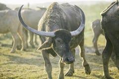 De groep buffels op natuurlijk gebied, Thailand, selecteert nadruk Stock Foto's