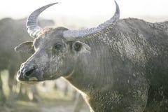 De groep buffels op natuurlijk gebied, Thailand, selecteert nadruk Royalty-vrije Stock Fotografie