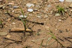 De groep insecten werkt samen om de maïskolf terug te brengen stock foto