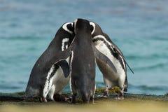 De groep Magellanic-pinguïnen verzamelt zich samen op de rotsachtige kust stock foto's