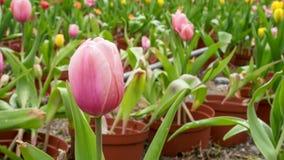De groep mooie rode tulpenbloem Stock Fotografie