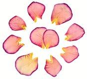De groep nam bloemblaadjes toe   Stock Afbeelding