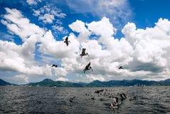 De groep pelikanen achter treilerboot het vangen vist en het vliegen boven Trinidad en Tobago Stock Foto's