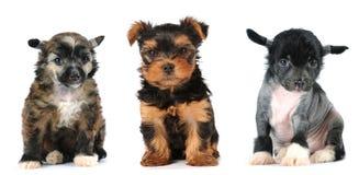 De groep puppy omwikkelt hondenras Stock Foto's