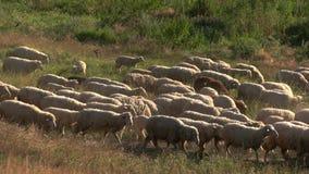 De groep schapen loopt stock video