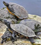 De groep schildpad hangt uit op een rots Stock Foto's