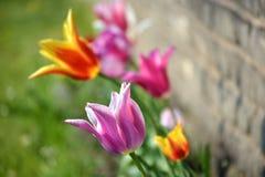 De groep tulpen Stock Foto's