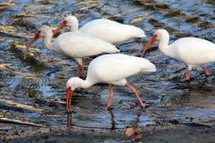 De Groep van de ibis Royalty-vrije Stock Foto