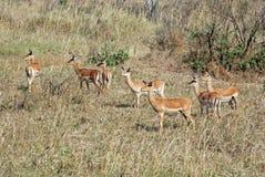 De groep van de impala in droog gras - Tanzania royalty-vrije stock fotografie