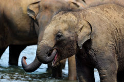De groep van de olifant in de rivier stock foto's