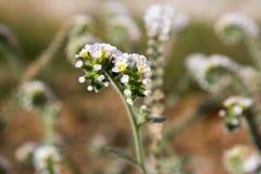 De groep van Heliotropiumvillosum witte kleine bloemen in bloei royalty-vrije stock foto's