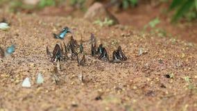 De groep vlinder zuigt eet mineraal en voedingsmiddelen op zand met Insect stock video