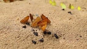 De groep vlinder zuigt eet mineraal en voedingsmiddelen op zand met Insect stock footage
