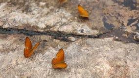 De groep vlinder zuigt eet mineraal en voedingsmiddelen op zand met Insect stock videobeelden