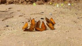 De groep vlinder zuigt eet mineraal en voedingsmiddelen op zand met Insect, Pang Sida National Park stock footage