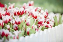 De groep witte en rode tulp bloeit in de tuin Royalty-vrije Stock Fotografie