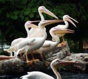 De groepsportret van pelikanen Stock Foto's