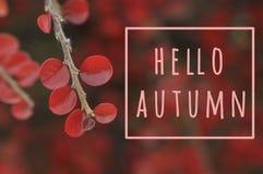 De groetkaart van de herfst Vector Cotoneasterconspicuus stock foto