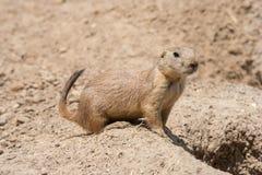 De grondeekhoorn ook als Spermophilus wordt bekend bewaakt zijn gat door zijn ingang die Stock Foto