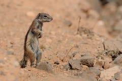 De Grondeekhoorn van Barbarije - Atlantoxerus-getulus Stock Fotografie