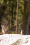 De grondeekhoorn van Californië (Otospermophilus-beecheyi) het knagen aan wildflowers Stock Fotografie