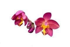 De grondorchidee isoleert Stock Foto