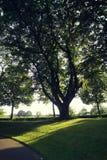 De grootste boom in citypark Royalty-vrije Stock Fotografie