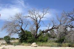 De grootteboom van Texas Stock Fotografie
