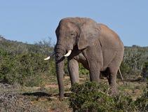 De grote Afrikaanse stier van de Olifant in de struik Royalty-vrije Stock Foto's