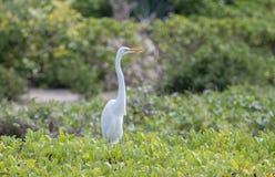 De grote alba status van Aigretteardea in een Grasrijke Weide in Mexico Royalty-vrije Stock Foto
