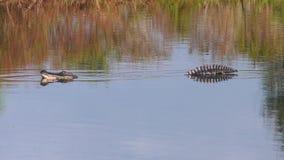 De grote alligator opent zijn mond stock video