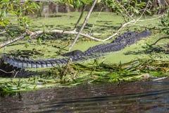 De grote Alligator van Florida stock afbeelding