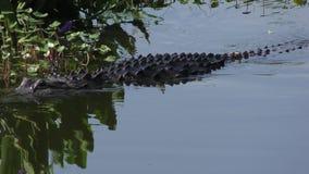 De grote alligator zwemt in een meer stock footage