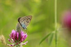 De grote Arion Blauwe vlinder is op uw purpere bloem Stock Foto's
