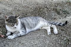 De grote beelden van de ogenkat, grote verdwaalde katten, kattenogen het mooist geluisterde katten, de mooiste kattenogen, de bee Royalty-vrije Stock Afbeelding