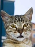 De grote beelden van de ogenkat, grote verdwaalde katten, kattenogen het mooist geluisterde katten, de mooiste kattenogen, de bee Stock Foto's
