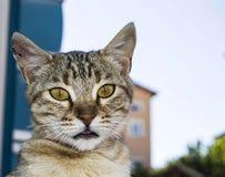 De grote beelden van de ogenkat, grote verdwaalde katten, kattenogen het mooist geluisterde katten, de mooiste kattenogen, de bee Stock Fotografie