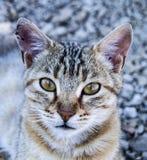 De grote beelden van de ogenkat, grote verdwaalde katten, kattenogen het mooist geluisterde katten, de mooiste kattenogen, de bee Stock Afbeelding