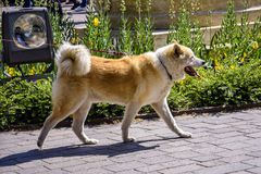 De grote bevlekte hond loopt op een leiband stock foto