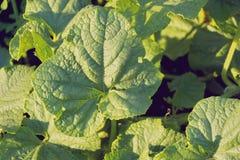 De grote bladeren van een komkommer wat maakt close-up groen stock foto