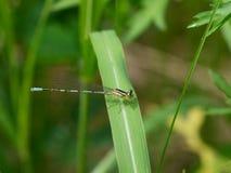 Blauwe libel op een gras Royalty-vrije Stock Foto