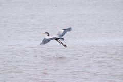 De grote Blauwe Reiger steeg tijdens de vlucht van een meer op stock foto