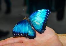 De grote blauwe vlinder spreidde zijn vleugels uit zittend op de open palm Royalty-vrije Stock Afbeelding
