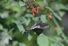 De grote Bloemen van Pipevine Swallowtail Polinating in een Tuin stock afbeelding