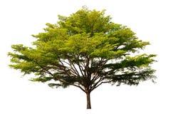 De grote boom Stock Foto's