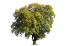 De grote boom isoleert op witte achtergrond stock fotografie