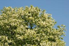 De grote boom komt witte kleuren tot bloei Stock Fotografie
